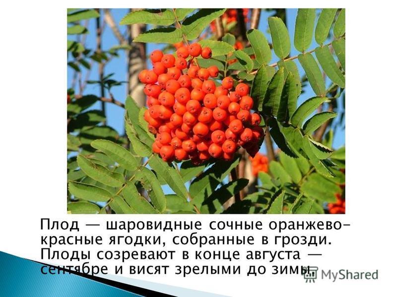 Плод шаровидные сочные оранжево- красные ягодки, собранные в грозди. Плоды созревают в конце августа сентябре и висят зрелыми до зимы.