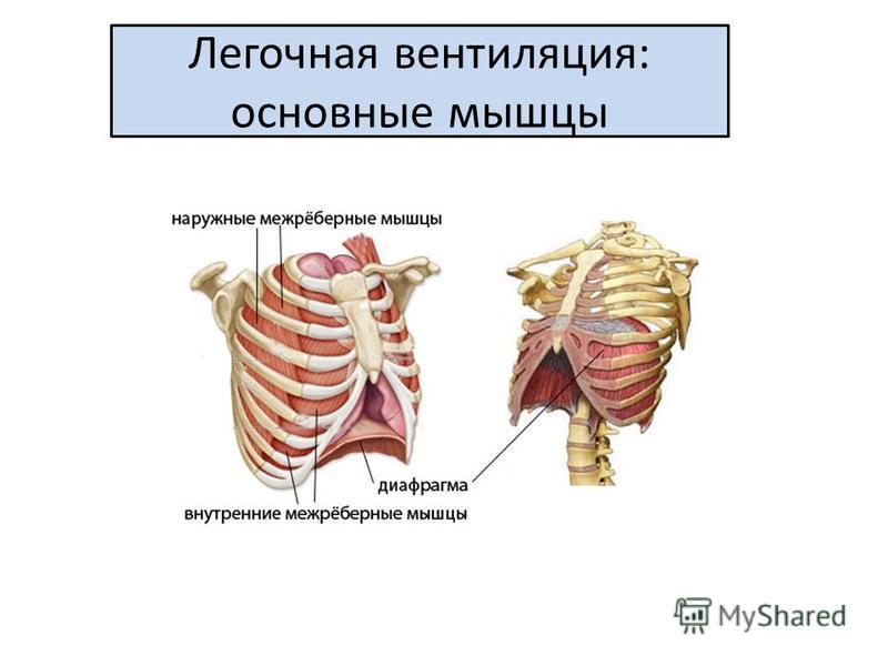 Легочная вентиляция: основные мышцы