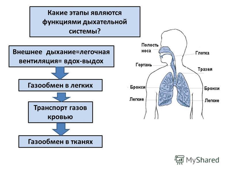 Какие этапы являются функциями дыхательной системы? Газообмен в легких Внешнее дыхание=легочная вентиляция= вдох-выдох Транспорт газов кровью Газообмен в тканях