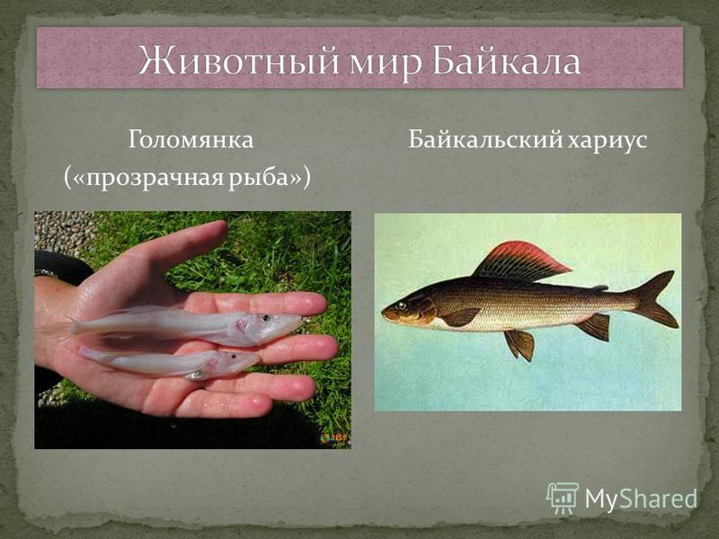 Голомянка Байкальский хариус («прозрачная рыба»)