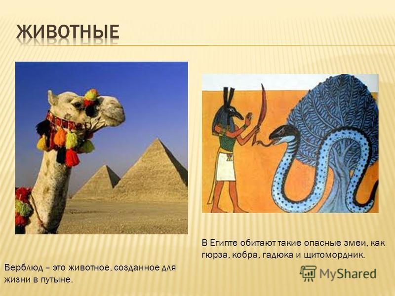Верблюд – это животное, созданное для жизни в пустыне. В Египте обитают такие опасные змеи, как гюрза, кобра, гадюка и щитомордник.