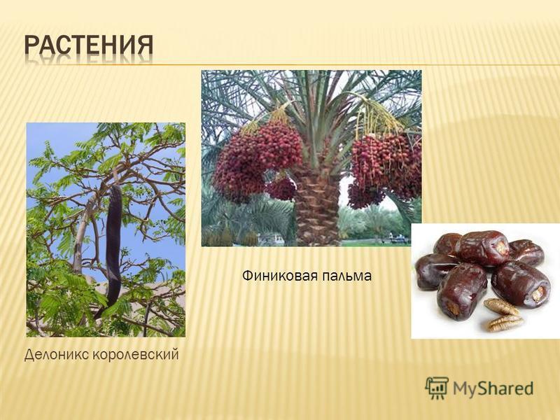 Делоникс королевский Финиковая пальма