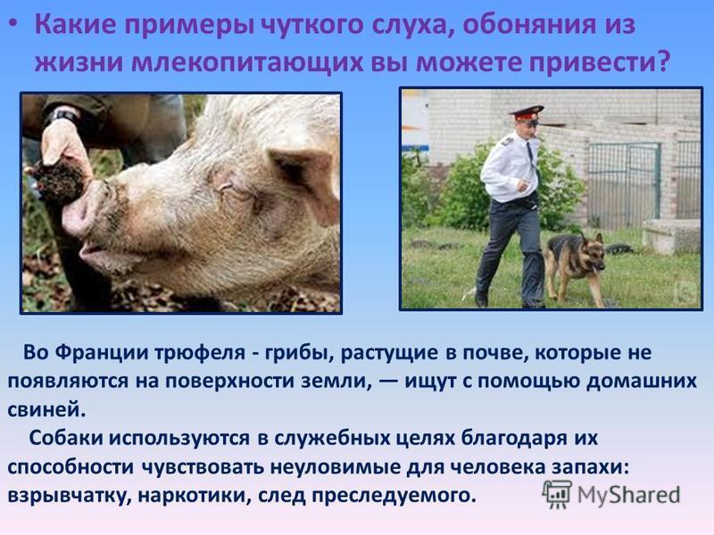 Какие примеры чуткого слуха, обоняния из жизни млекопитающих вы можете привести? Во Франции трюфеля - грибы, растущие в почве, которые не появляются на поверхности земли, ищут с помощью домашних свиней. Собаки используются в служебных целях благодаря