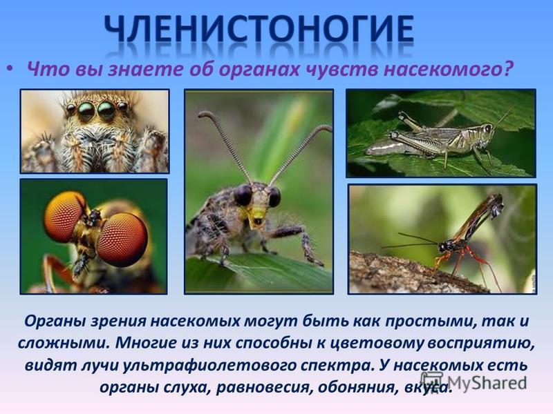 Что вы знаете об органах чувств насекомого? Органы зрения насекомых могут быть как простыми, так и сложными. Многие из них способны к цветовому восприятию, видят лучи ультрафиолетового спектра. У насекомых есть органы слуха, равновесия, обоняния, вку