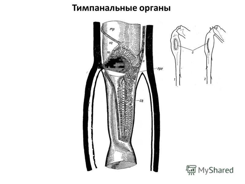 Тимпанальные органы