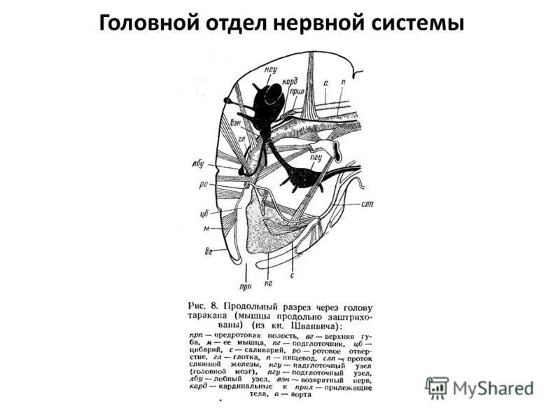Головной отдел нервной системы
