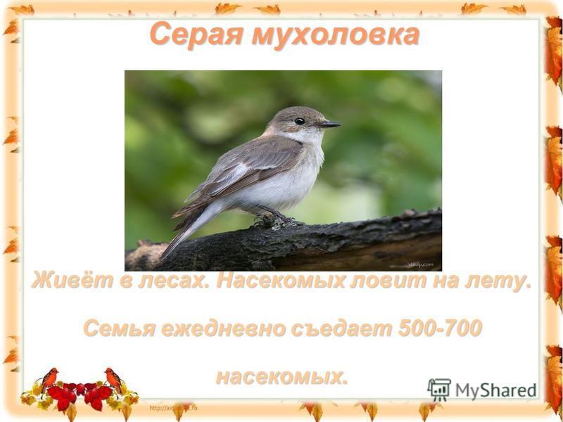 Серая мухоловка Живёт в лесах. Насекомых ловит на лету. Семья ежедневно съедает 500-700 насекомых.