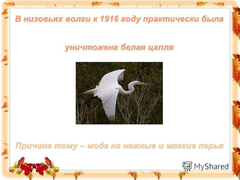В низовьях волги к 1916 году практически была уничтожена белая цапля Причина тому – мода на нежные и мягкие перья
