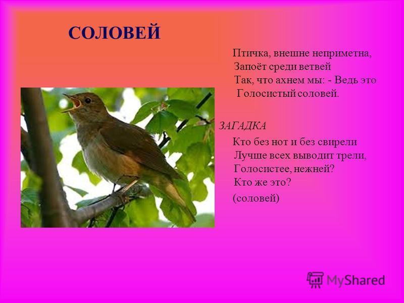 СОЛОВЕЙ Птичка, внешне неприметна, Запоёт среди ветвей Так, что ахнем мы: - Ведь это Голосистый соловей. ЗАГАДКА Кто без нот и без свирели Лучше всех выводит трели, Голосистее, нежней? Кто же это? (соловей)