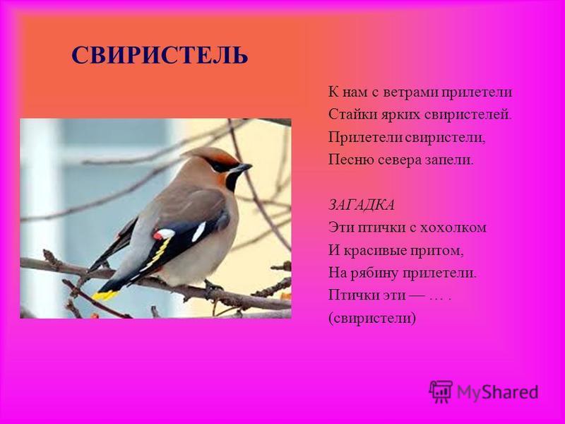 СВИРИСТЕЛЬ К нам с ветрами прилетели Стайки ярких свиристелей. Прилетели свиристели, Песню севера запели. ЗАГАДКА Эти птички с хохолком И красивые притом, На рябину прилетели. Птички эти …. (свиристели)