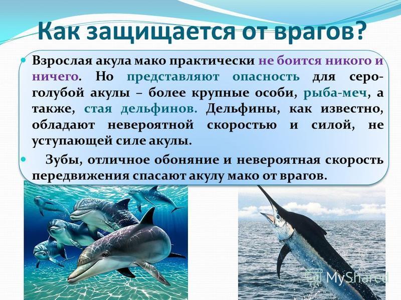 Чем она питается? Основной рацион акулы мака составляют крупные морские рыбы: скумбрии, тунцы, сельдь и другие. На самом же деле эта хищница никогда не откажется и от другого, более крупного и калорийного корма. Зачастую акула мака нападает на птиц,