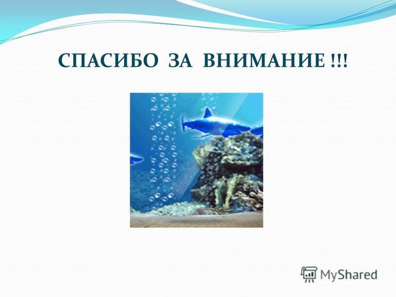 Как защищается от врагов? Взрослая акула мака практически не боится никого и ничего. Но представляют опасность для серо- голубой акулы – более крупные особи, рыба-меч, а также, стая дельфинов. Дельфины, как известно, обладают невероятной скоростью и
