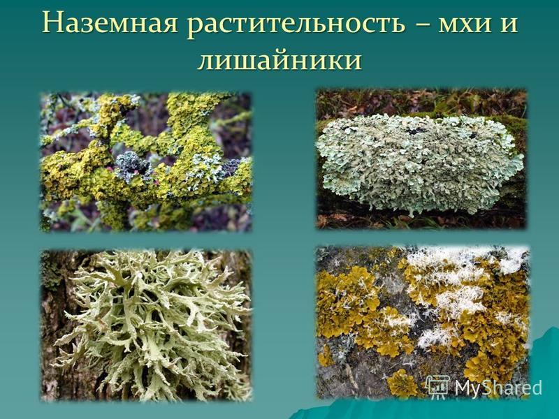 Наземная растительность – мхи и лишайники