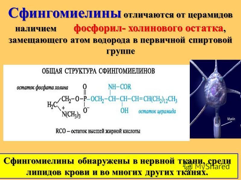 Сфингомиелины отличаются от церамидов наличием фосфорил- холинового остатка, замещающего атом водорода в первичной спиртовой группе Сфингомиелины обнаружены в нервной ткани, среди липидов крови и во многих других тканях.