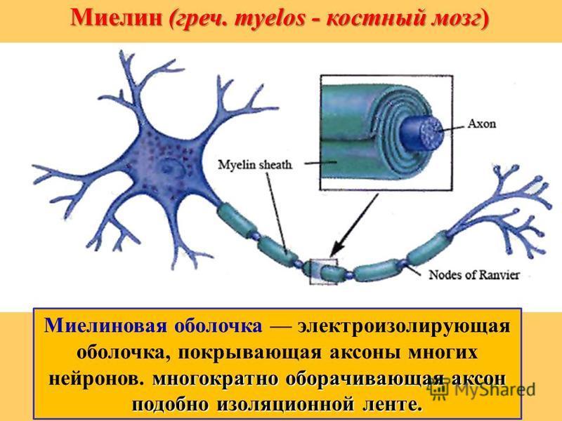 Миелин (греч. myelos - костный мозг) многократно оборачивающая аксон подобно изоляционной ленте. Миелиновая оболочка электроизолирующая оболочка, покрывающая аксоны многих нейронов. многократно оборачивающая аксон подобно изоляционной ленте.