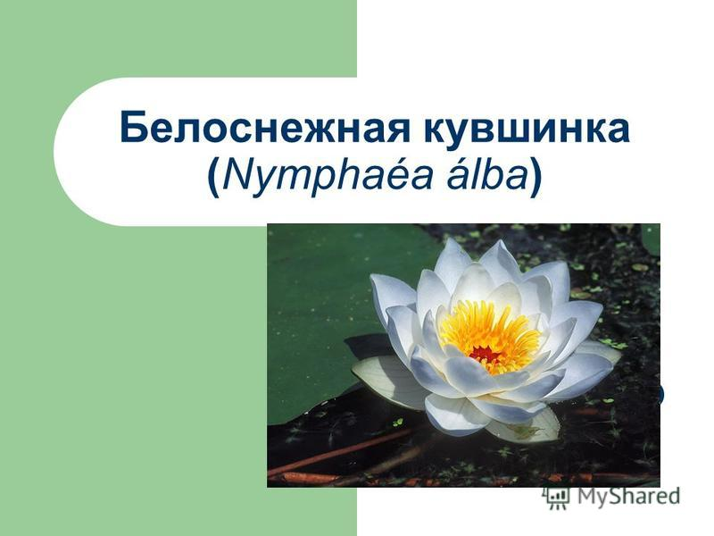Белоснежная кувшинка (Nymphaéa álba)