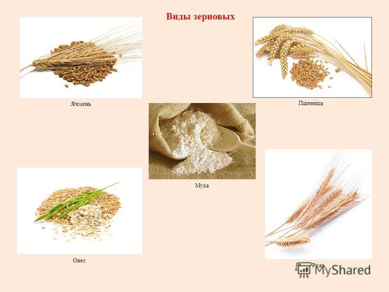 Овес Пшеница Ячмень Рожь Виды зерновых Мука