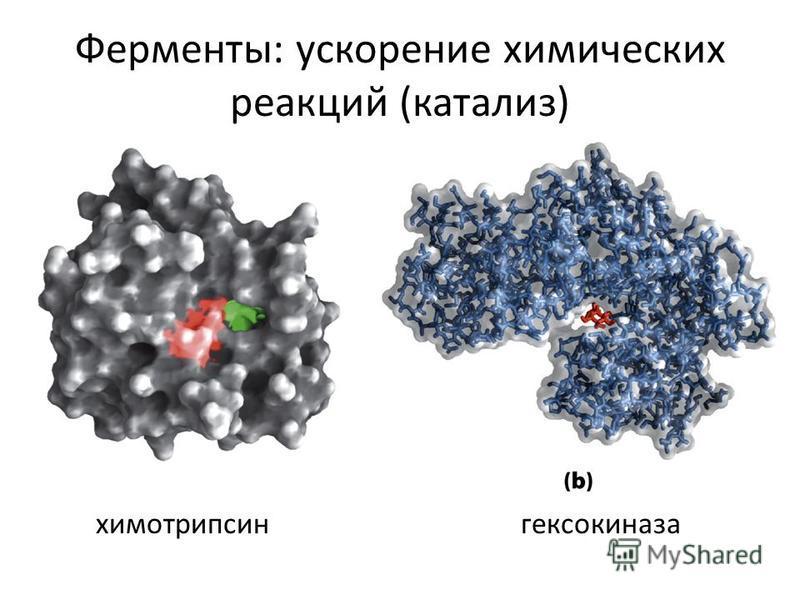 Ферменты: ускорение химических реакций (катализ) химотрипсингексокиназа