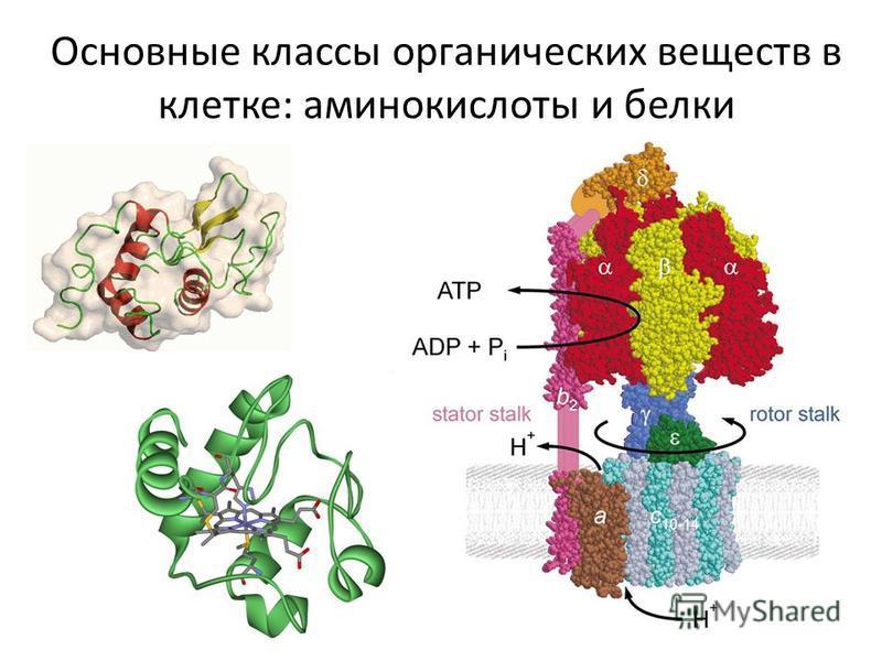 Основные классы органических веществ в клетке: аминокислоты и белки