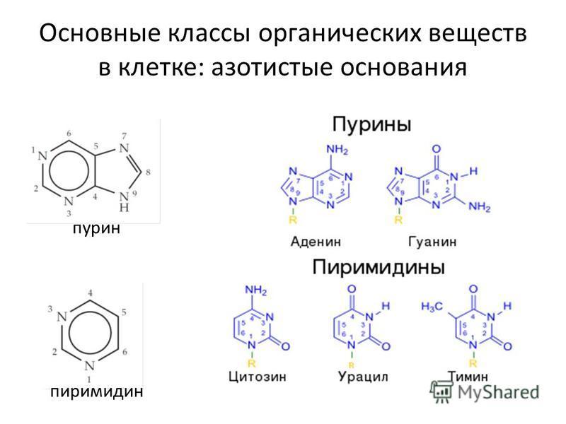 Основные классы органических веществ в клетке: азотистые основания пиримидинпурин