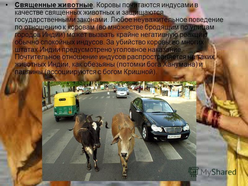 Священные животные. Коровы почитаются индусами в качестве священных животных и защищаются государственными законами. Любое неуважительное поведение по отношению к коровам (во множестве бродящим по улицам городов Индии) может вызвать крайне негативную