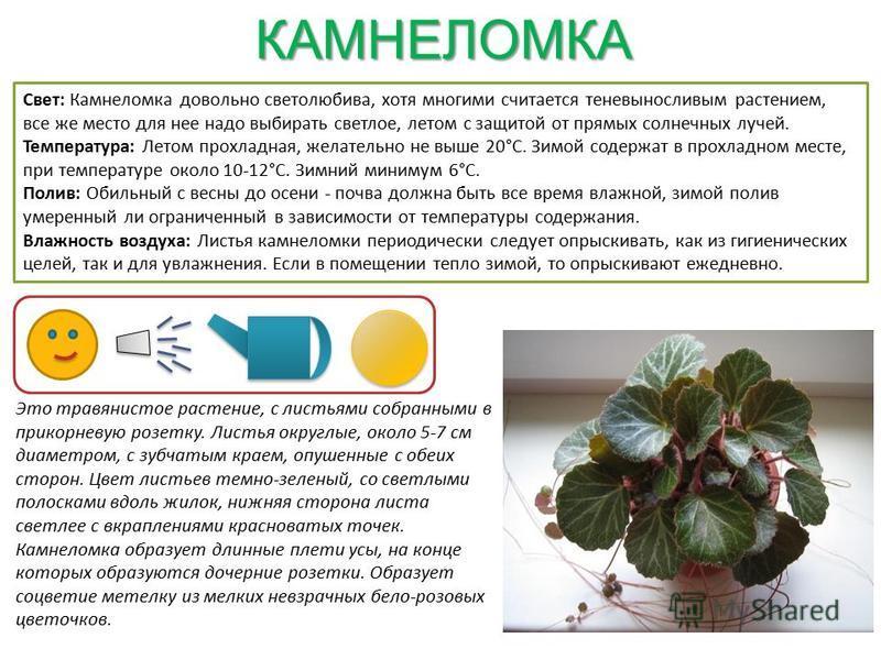 КАМНЕЛОМКА Свет: Камнеломка довольно светолюбива, хотя многими считается теневыносливым растением, все же место для нее надо выбирать светлое, летом с защитой от прямых солнечных лучей. Температура: Летом прохладная, желательно не выше 20°С. Зимой со