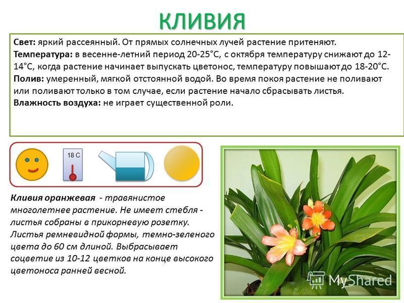 КЛИВИЯ Кливия оранжевая - травянистое многолетнее растение. Не имеет стебля - листья собраны в прикорневую розетку. Листья ремневидной формы, темно-зеленого цвета до 60 см длиной. Выбрасывает соцветие из 10-12 цветков на конце высокого цветоноса ранн