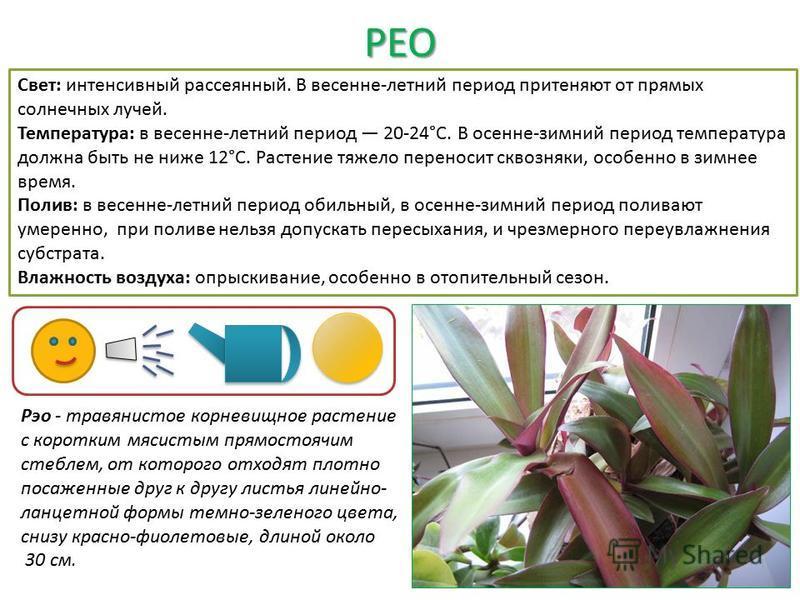 РЕО Рэо - травянистое корневищное растение с коротким мясистым прямостоячим стеблем, от которого отходят плотно посаженные друг к другу листья линейно- ланцетной формы темно-зеленого цвета, снизу красно-фиолетовые, длиной около 30 см. Свет: интенсивн