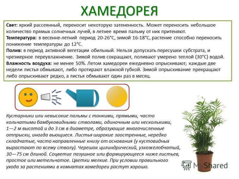 ХАМЕДОРЕЯ Свет: яркий рассеянный, переносит некоторую затененность. Может переносить небольшое количество прямых солнечных лучей, в летнее время пальму от них притеняют. Температура: в весенне-летний период 20-26°C, зимой 16-18°C, растение способно п