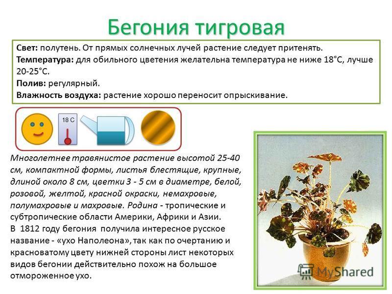 Бегония тигровая Свет: полутень. От прямых солнечных лучей растение следует притенять. Температура: для обильного цветения желательна температура не ниже 18°C, лучше 20-25°C. Полив: регулярный. Влажность воздуха: растение хорошо переносит опрыскивани