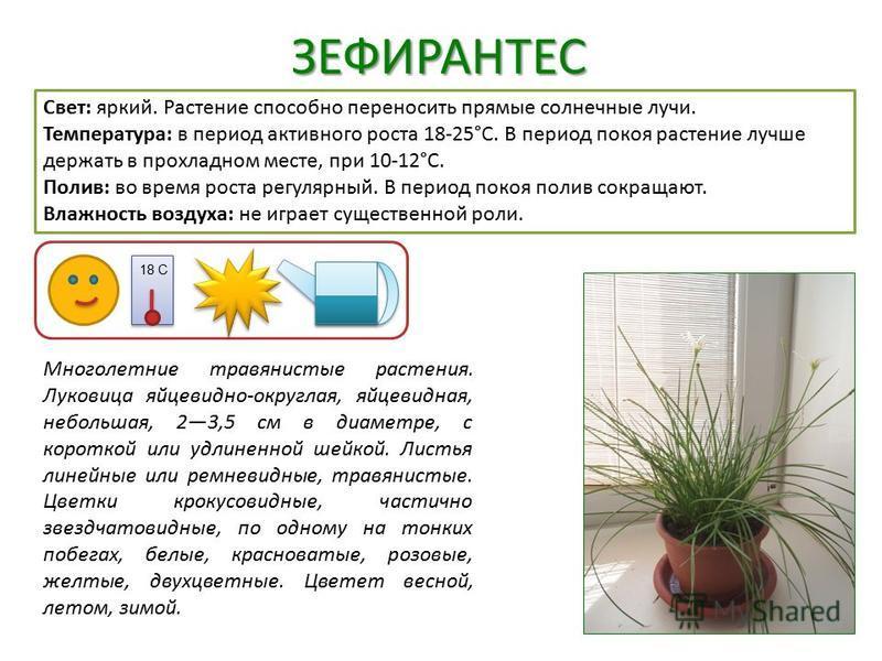 ЗЕФИРАНТЕС Свет: яркий. Растение способно переносить прямые солнечные лучи. Температура: в период активного роста 18-25°C. В период покоя растение лучше держать в прохладном месте, при 10-12°C. Полив: во время роста регулярный. В период покоя полив с