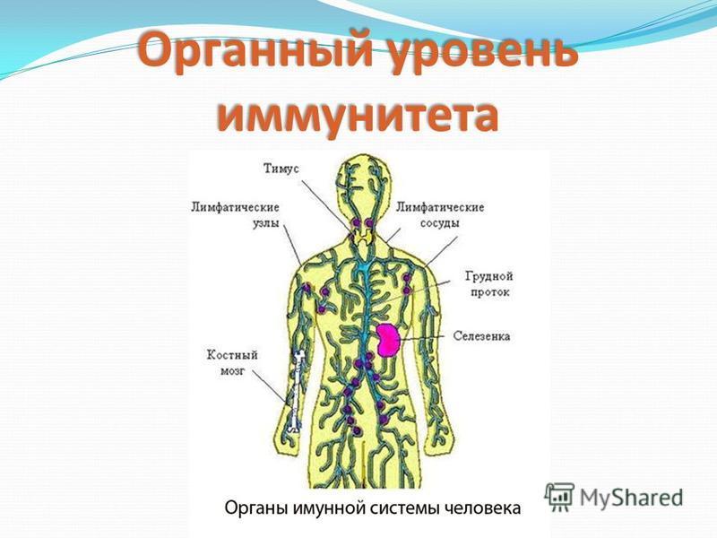 Органный уровень иммунитета