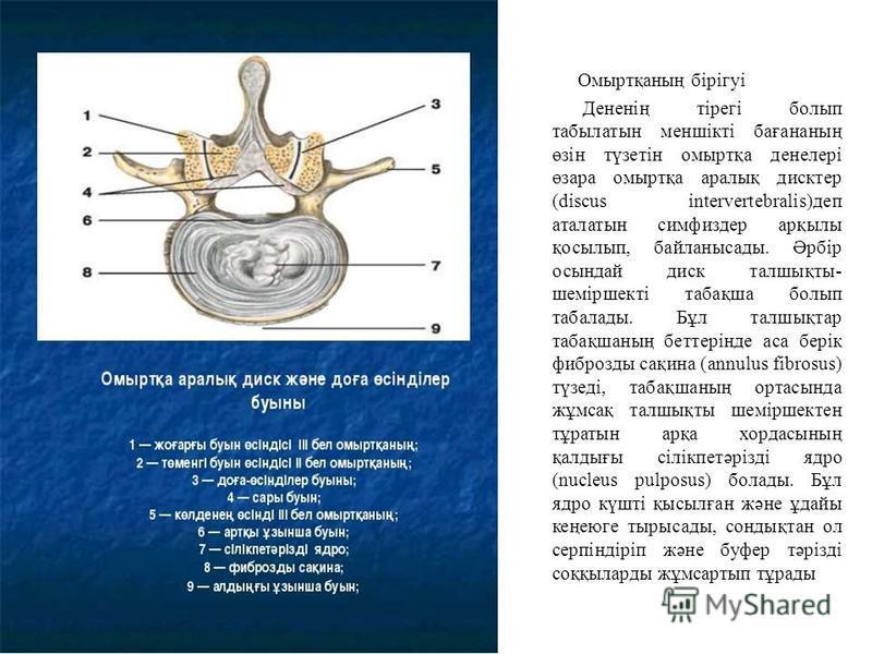 Омыртқаның бірігуі Дененің тірегі болып табылатын меншікті бағананың өзін түзетін омыртқа денелері өзара омыртқа аралық дисктер (discus intervertebralis)деп аталатын симфиздер арқылы қосылып, байланысады. Әрбір осындай диск талшықты- шеміршекті табақ