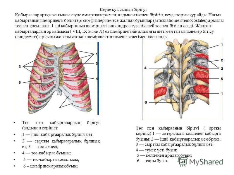 Төс пен қабырғалардың бірігуі (алдынан көрініс): 1 ішкі қабырғааралық бұлшық ет; 2 сыртқы қабырғааралық бұлшық ет; 3 төс денесі; 4 төс-қабырға буыны; 5 төс-қабырға қосылысы; 6 – шеміршек аралық буын; Төс пен қабырғаның бірігуі ( артқы көрініс) 1 лате