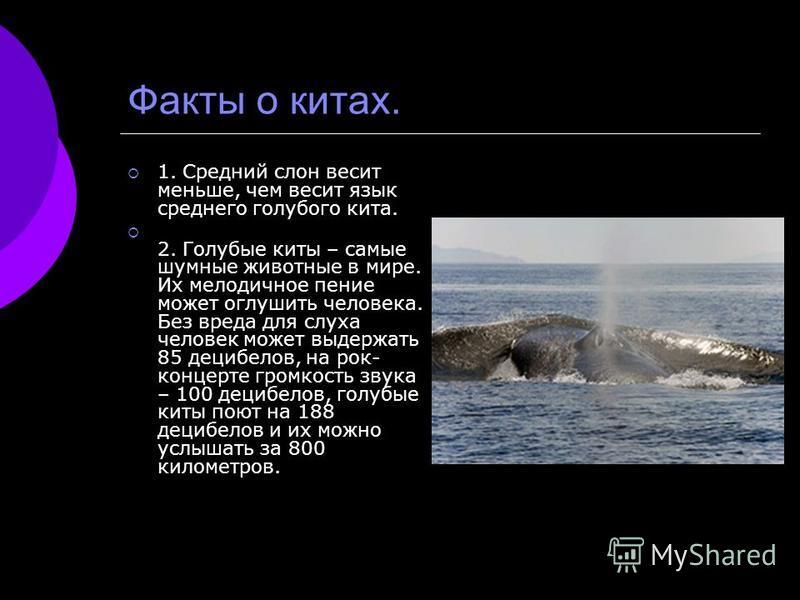 Факты о китах. 1. Средний слон весит меньше, чем весит язык среднего голубого кита. 2. Голубые киты – самые шумные животные в мире. Их мелодичное пение может оглушить человека. Без вреда для слуха человек может выдержать 85 децибелов, на рок- концерт