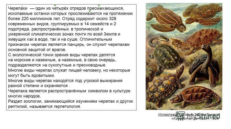 Иллюстрация из книги Эрнста Геккеля «Kunstformen der Natur», 1904 Черепа́хи один из четырёх отрядов пресмыкающихся, ископаемые останки которых прослеживаются на протяжении более 220 миллионов лет. Отряд содержит около 328 современных видов, группируе