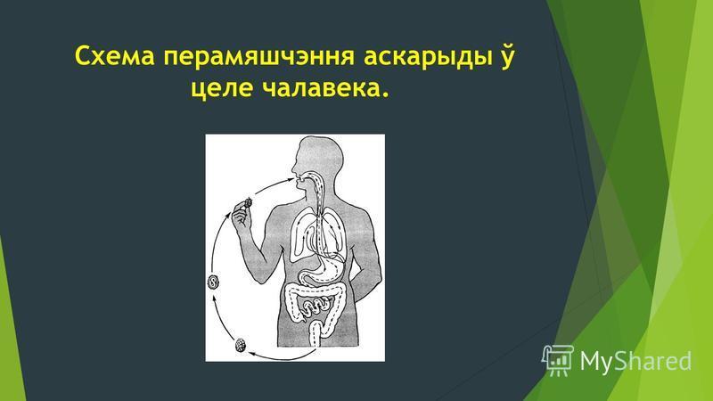 Схема перамяшчэння аскарыды ў целе чалавека.