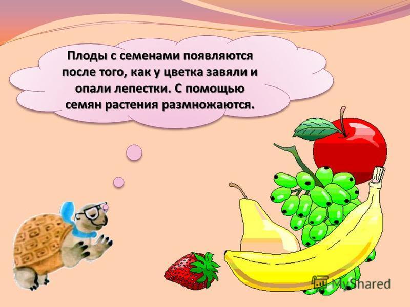 Плоды с семенами появляются после того, как у цветка завяли и опали лепестки. С помощью семян растения размножаются.