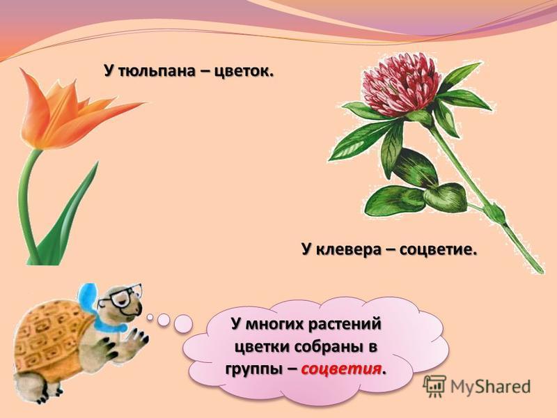 У многих растений цветки собраны в группы – соцветия. У многих растений цветки собраны в группы – соцветия. У тюльпана – цветок. У клевера – соцветие.