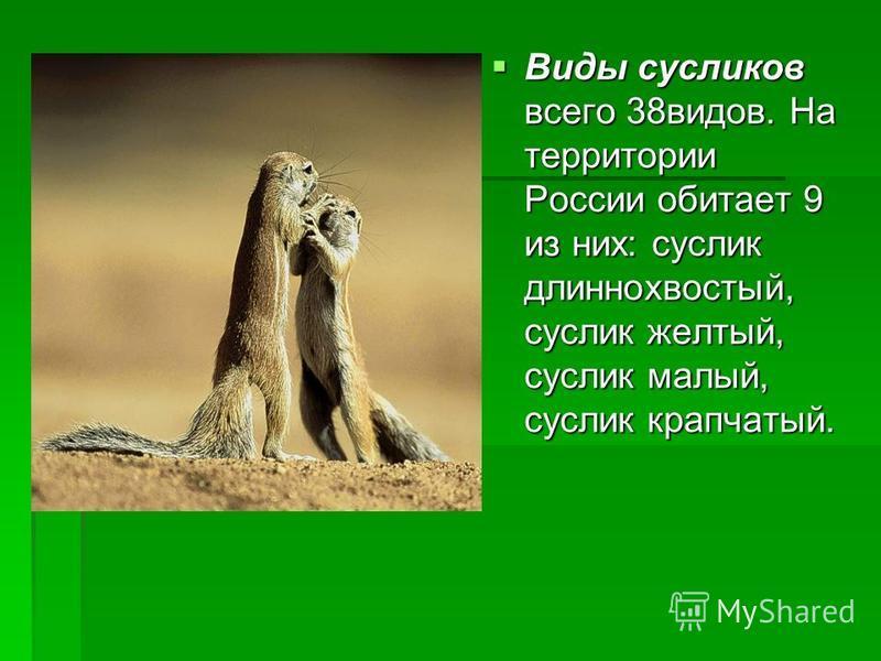Виды сусликов всего 38 видов. На территории России обитает 9 из них: суслик длиннохвостый, суслик желтый, суслик малый, суслик крапчатый. Виды сусликов всего 38 видов. На территории России обитает 9 из них: суслик длиннохвостый, суслик желтый, суслик