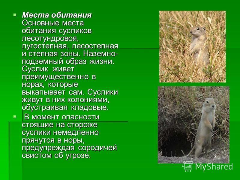Места обитания Основные места обитания сусликов лесотундровая, лугостепная, лесостепная и степная зоны. Наземно- подземный образ жизни. Суслик живет преимущественно в норах, которые выкапывает сам. Суслики живут в них колониями, обустраивая кладовые.
