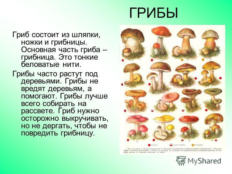 ГРИБЫ Гриб состоит из шляпки, ножки и грибницы. Основная часть гриба – грибница. Это тонкие беловатые нити. Грибы часто растут под деревьями. Грибы не вредят деревьям, а помогают. Грибы лучше всего собирать на рассвете. Гриб нужно осторожно выкручива