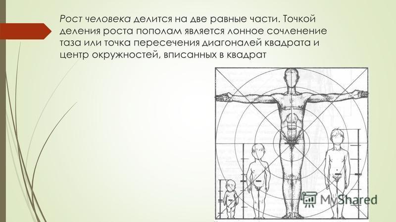 Рост человека делится на две равные части. Точкой деления роста пополам является лонное сочленение таза или точка пересечения диагоналей квадрата и центр окружностей, вписанных в квадрат