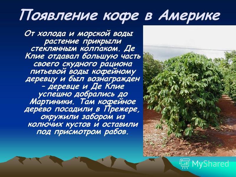 Появление кофе в Америке От холода и морской воды растение прикрыли стеклянным колпаком. Де Клие отдавал большую часть своего скудного рациона питьевой воды кофейному деревцу и был вознагражден – деревце и Де Клие успешно добрались до Мартиники. Там