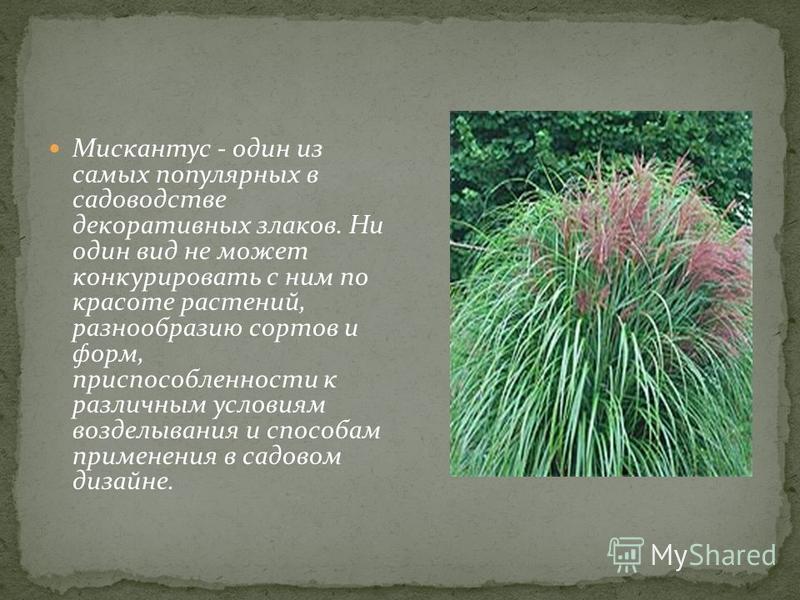 Мискантус - один из самых популярных в садоводстве декоративных злаков. Ни один вид не может конкурировать с ним по красоте растений, разнообразию сортов и форм, приспособленности к различным условиям возделывания и способам применения в садовом диза