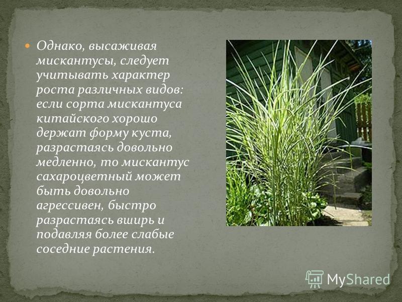 Однако, высаживая мискантусы, следует учитывать характер роста различных видов: если сорта мискантуса китайского хорошо держат форму куста, разрастаясь довольно медленно, то мискантус сахароцветный может быть довольно агрессивен, быстро разрастаясь в