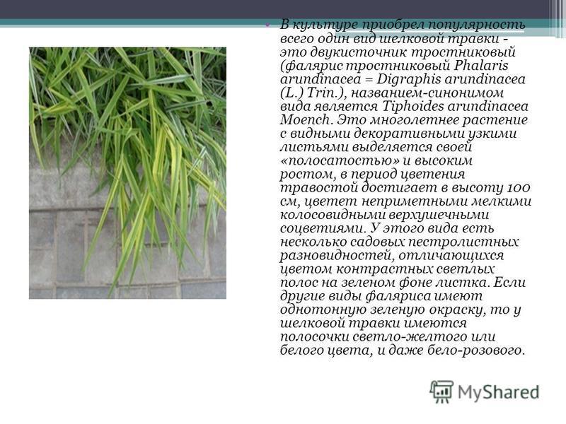 В культуре приобрел популярность всего один вид шелковой травки - это двукисточник тростниковый (фалярис тростниковый Phalaris arundinacea = Digraphis arundinacea (L.) Trin.), названием-синонимом вида является Tiphoides arundinacea Moench. Это многол