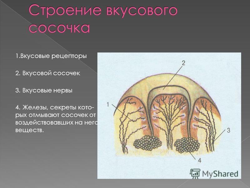 1. Вкусовые рецепторы 2. Вкусовой сосочек 3. Вкусовые нервы 4. Железы, секреты которых отмывают сосочек от воздействовавших на него веществ.
