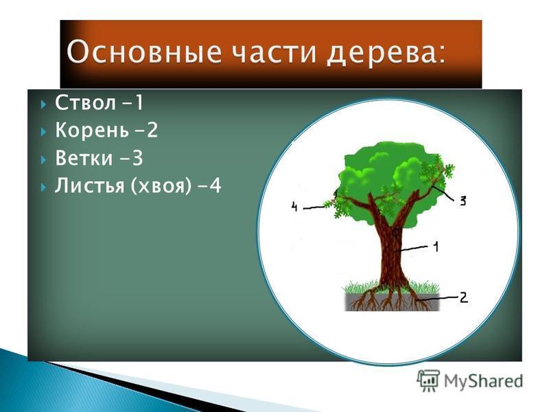 Ствол -1 Корень -2 Ветки -3 Листья (хвоя) -4