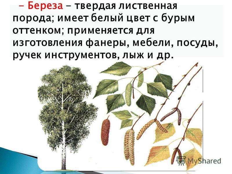 - Береза - твердая лиственная порода; имеет белый цвет с бурым оттенком; применяется для изготовления фанеры, мебели, посуды, ручек инструментов, лыж и др.
